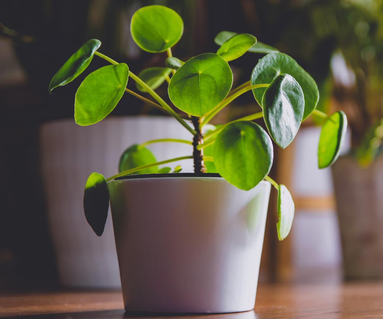 Low-maintenance houseplant Chinese Money Plant
